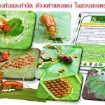 การป้องกันและกำจัด ด้วงเต่าแตงแดง ในสวนแตงอินทรีย์