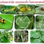 การป้องกันและกำจัด หนอนชอนใบ ในสวนเกษตรอินทรีย์